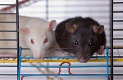 Dois ratos curiosos Imagens de Stock
