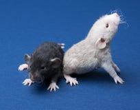 Dois ratos pequenos Foto de Stock
