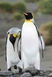 Dois rei Penguin (patagonicus do Aptenodytes) que anda atrás de se foto de stock royalty free