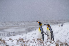 Dois rei Penguins na península antártica fotos de stock