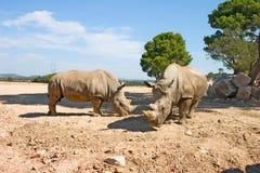 Dois Rhinos Fotos de Stock