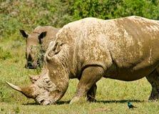 Dois rhinos brancos Foto de Stock Royalty Free