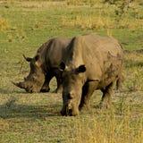 Dois rhinos que pastam Fotos de Stock Royalty Free