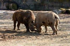Dois rinocerontes Fotografia de Stock