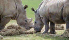 Dois rinocerontes brancos que comem o feno Imagens de Stock