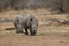 Dois rinocerontes com os chifres cortados a proteger contra caçar Fotografia de Stock Royalty Free