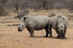 Dois rinocerontes com os chifres cortados a proteger contra caçar Imagens de Stock Royalty Free