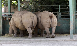 Dois rinocerontes comem o feno Fotos de Stock