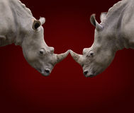 Dois rinocerontes de luta Foto de Stock Royalty Free