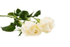 Dois Rosa branca isolada no fundo branco Fotos de Stock Royalty Free