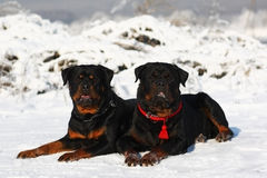 Dois Rottweilers Fotografia de Stock