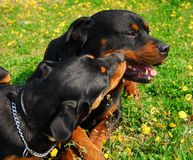 Dois rottweilers fotos de stock royalty free