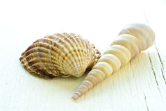 Dois seashells Imagens de Stock Royalty Free