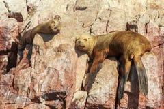 Dois selos que têm uma sesta nas rochas na ilha de Ballestas, Paracas Foto de Stock Royalty Free