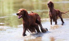 Dois setter irlandeses na água Imagens de Stock