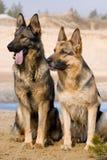Dois Sheepdogs de Alemanha Foto de Stock Royalty Free