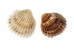 Dois shell do berbigão fotografia de stock