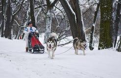 Dois Siberian Husky Dogs Pulling Sled Fotografia de Stock Royalty Free