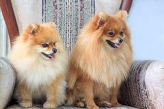 Dois sitts pomeranian dos puppys na cadeira Imagens de Stock Royalty Free