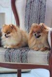 Dois sitts pomeranian dos puppys na cadeira grande Fotografia de Stock Royalty Free