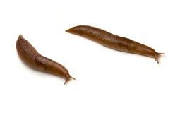 Dois Slugs isolados Imagem de Stock