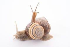 Dois snails.isolated Foto de Stock