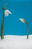 Dois snowdrops Fotografia de Stock Royalty Free
