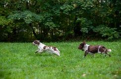 Dois spaniéis de Springer inglês perseguem o corredor e o jogo na grama Fotografia de Stock