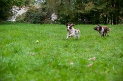 Dois spaniéis de Springer inglês perseguem o corredor e o jogo na grama Jogo com bola de tênis Fotos de Stock