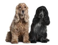 Dois Spaniels de Cocker ingleses, sentando-se Fotografia de Stock Royalty Free
