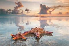 Dois Starfish na praia fotografia de stock royalty free