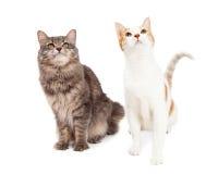 Dois Tabby Cat Sitting e vista acima ao céu imagens de stock royalty free