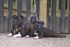 Dois terrier Fotografia de Stock
