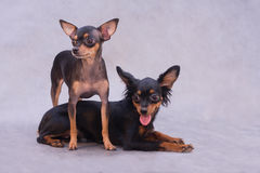 Dois terrier de brinquedo russian Imagens de Stock