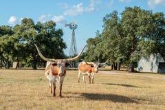 Dois Texas Longhorns e o moinho de vento Fotografia de Stock Royalty Free