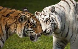 Dois tigres Imagens de Stock