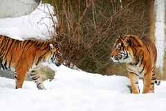 Dois tigres Imagem de Stock Royalty Free