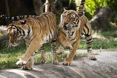 Dois tigres de bengal Fotos de Stock