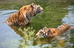 Dois tigres na água Fotografia de Stock Royalty Free