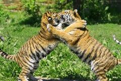 Dois tigres novos Imagem de Stock Royalty Free