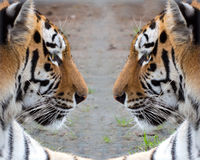 Dois tigres Siberian no perfil um contra outro Foto de Stock Royalty Free