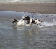 Dois tipo de trabalho cães de caça engish do animal de estimação do spaniel de springer que correm no mar Fotografia de Stock