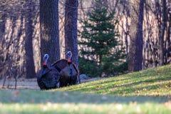 Dois Tom Turkeys Imagem de Stock Royalty Free
