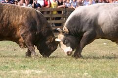 Dois touros Imagens de Stock