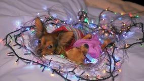 Dois Toy Terrier são um cão amarelo do ` s do ano novo imagens de stock royalty free
