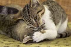 Dois três meses de gatinho velho estão jogando Imagem de Stock