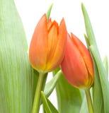 Dois tulips Fotografia de Stock