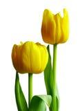 Dois tulips amarelos fotografia de stock royalty free