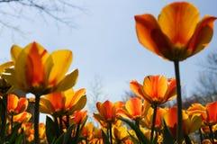 Dois tulips da cor Fotografia de Stock Royalty Free
