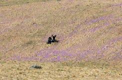Dois turistas novos que sentam-se no prado da montanha com açafrão florescem a florescência, vale de Chocholowska Fotos de Stock Royalty Free